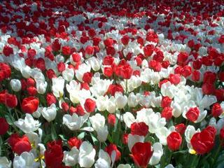 بالصور انواع الزهور ومعلومات عنها 1e0e0f51d14e811dc473398361557158