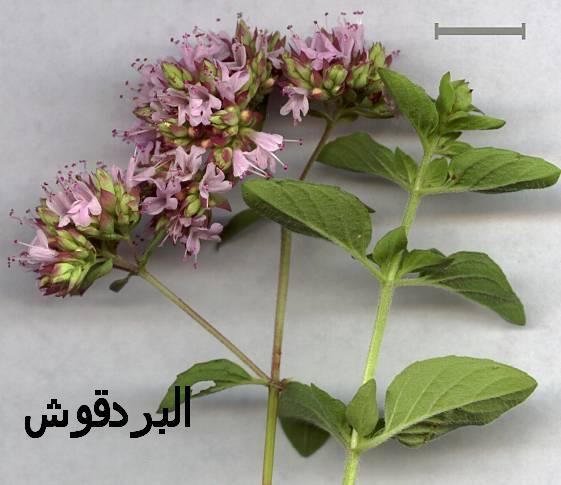 بالصور فوائد نبات البردقوش الكثيرة 2c4caa4a04536732fb9d8e703c0b7ce2