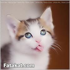 اجمل قطط فى ألعالم لمحبات ألقطط