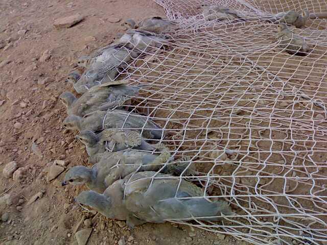 صور معلومات عن صيد الحجل