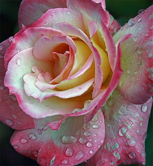 صوره صور وردة وزهور رائعة الجمال