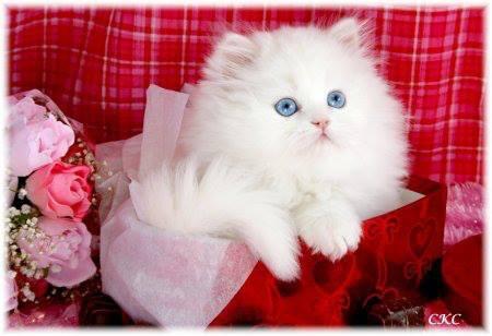 بالصور صور قطط جميلة كيوت 445263068efa824ea213546e57cb8ac0