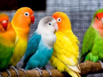 صوره من هى طيور الحب