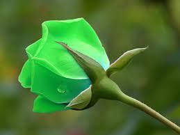 صور اجمل صور ورد اخضر