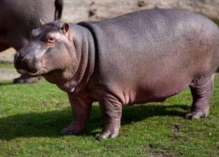 بالصور تعريف ما هو حيوان فرس النهر 5f4520978467ea275e7c5f3cefb1cfca