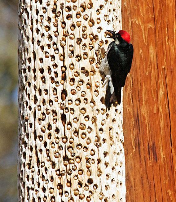 نقار الخشب طائر نقار الخشب