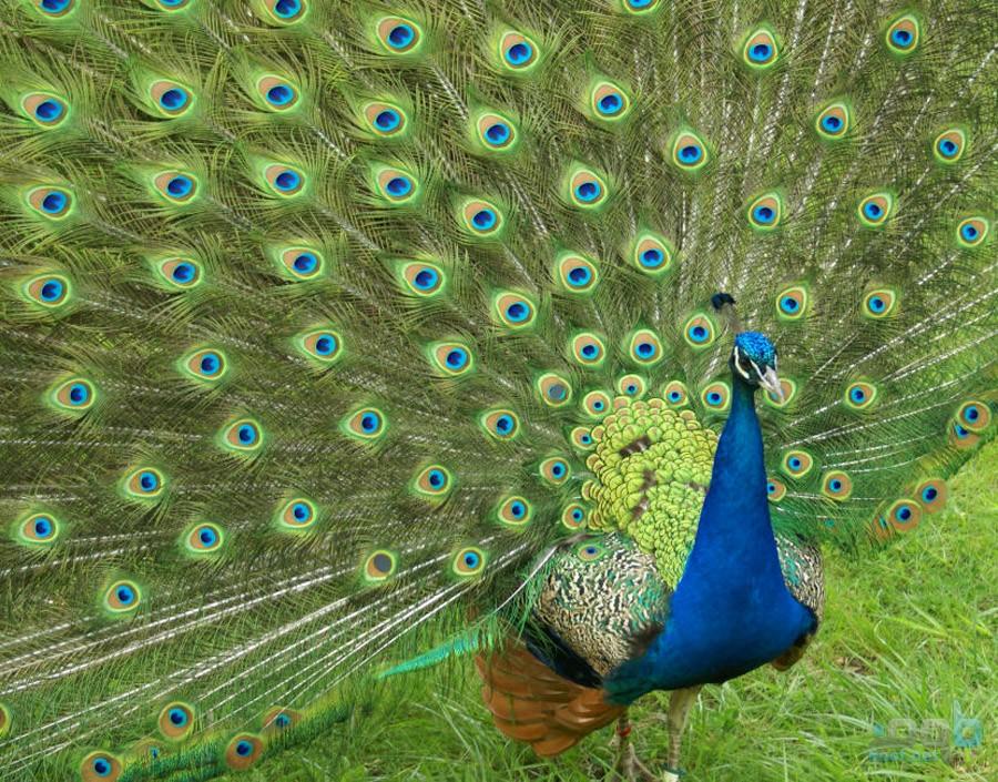 بالصور معلومات عن حيوان الطاووس 647c530d75c1b00ddd026e1375302044