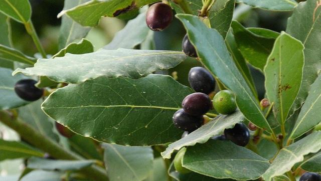 صور معلومات عن شجرة الغار