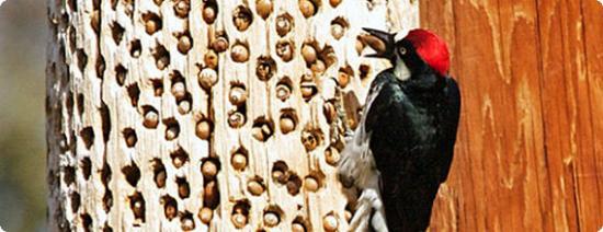 بالصور اجمل صور طائر نقار الخشب 7563e70749f48faa263240f4f42f9d3c