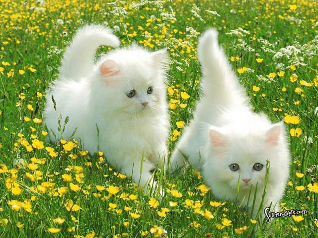 صوره اشهر انواع القطط  بالصور