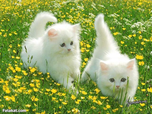 صوره اروع القطط في العالم