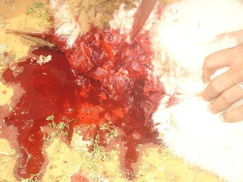 صوره كيف تذبح الخروف بالطريقة الاسلامية