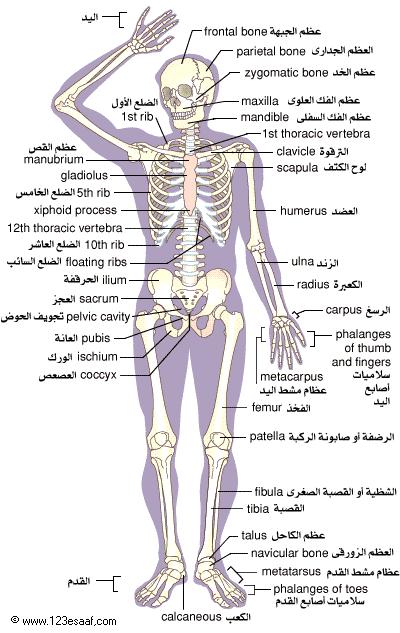 صوره عدد عظام جسم الانسان