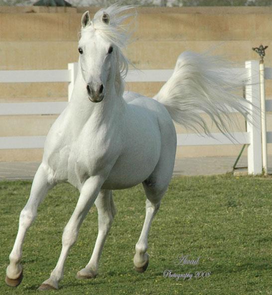 صوره احلى صور خيول عربية 2017