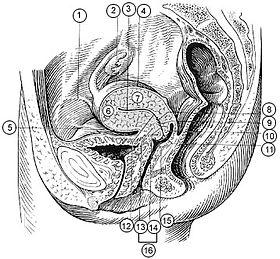صوره مكان الرحم في جسم المراة