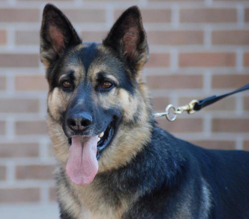 صوره صور كلب بلوسي صور كلاب مفترسة 2017