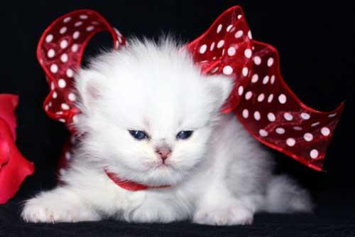 صورة اجمل واحلى صور خلفيات قطط فى العالم
