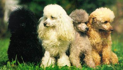 صوره صور كلاب كنيش اللطيفة