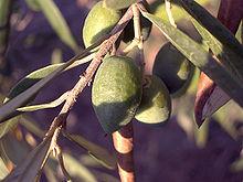 بالصور الاسم العلمي لاوراق الزيتون لشجرة الزيتون ab206b41d686dea230424d2357532477