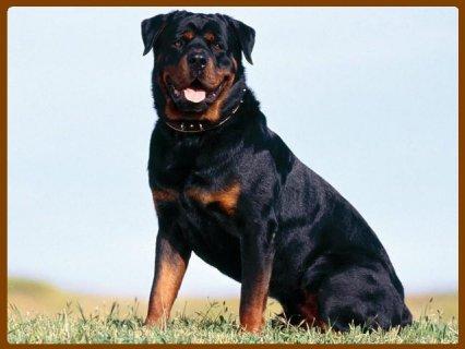 صوره مجموعة صور كلاب امريكي