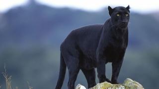 صوره معلومات عن الفهد الاسود