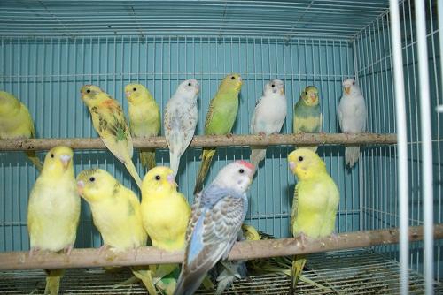 صور طيور البادجي <br />طائر البادجي الاسترالي