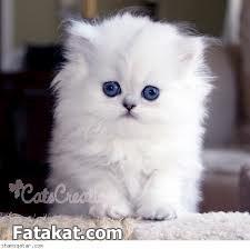 اجمل قطط فِى ألعالم لمحبات ألقطط