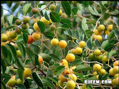 بالصور فوائد واستعمالات نبات السدر df0fbc8b474dd760946e7eff52b53c02