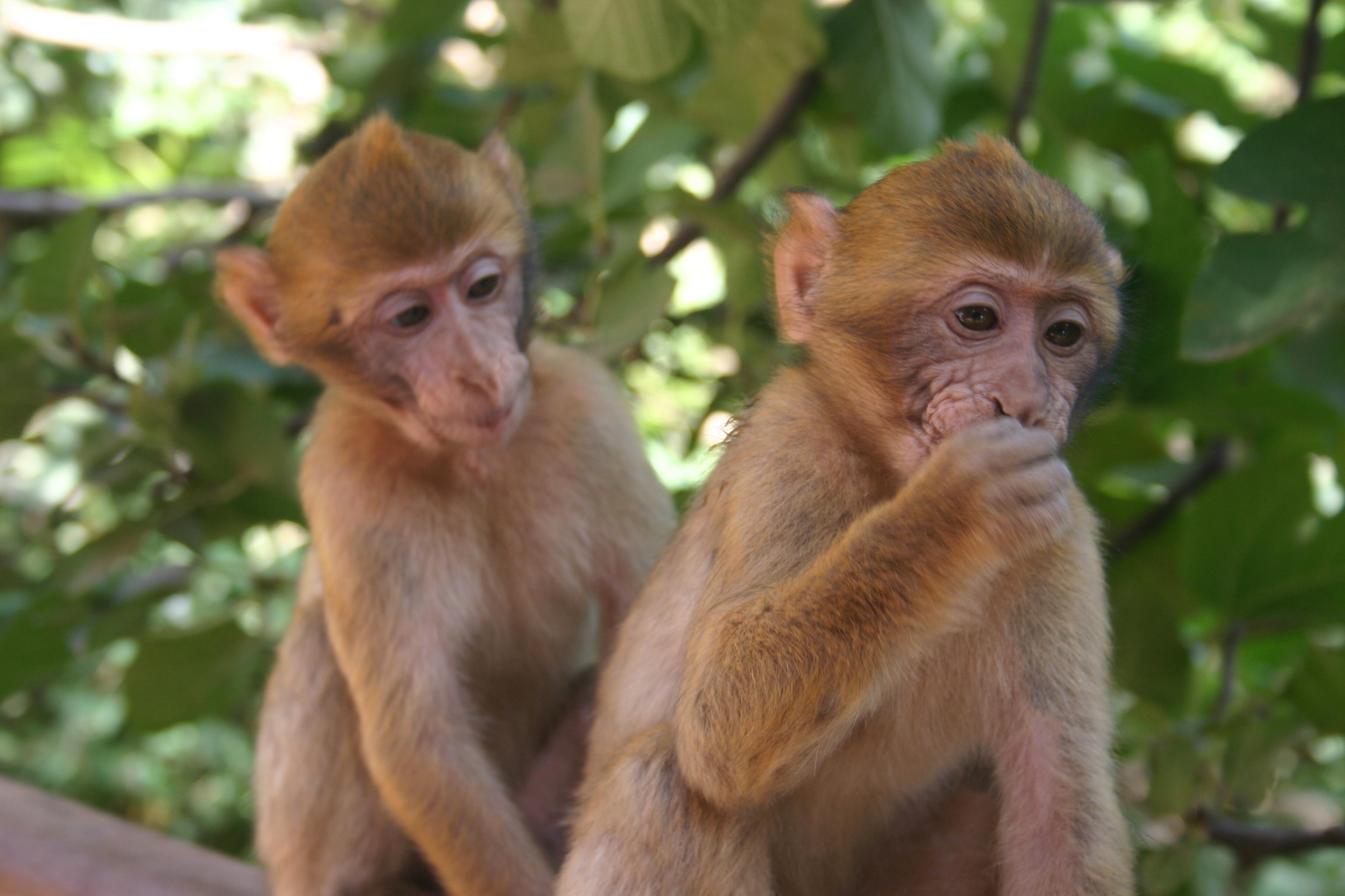 صوره القرد في المنام لابن سيرين