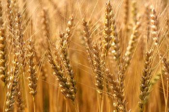 بالصور تفسير رؤية القمح او الحنطة في الحلم او المنام ec4eb5648517ea81f112dcabc009a2f4