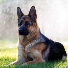 بالصور صور افضل كلاب للحراسه f3aa103ec147a2a62579f9bd8b4083cf