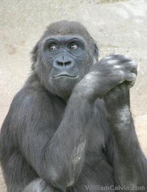 صوره صور عن حيوان الغوريلا