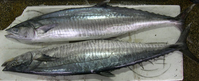 بالصور معلومات عن سمك الدراك بالصور fe1dc2a1a0624e20e3872d25dfbcea72