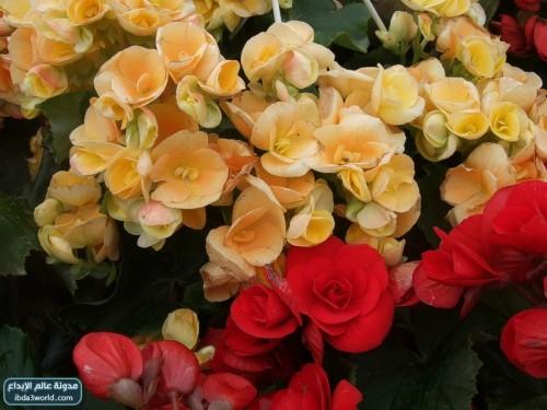 بالصور صور زهور جميلة وملونة 01b29442ce35670219be08d9e20032c1