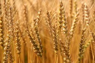 صوره تفسير رؤية القمح او الحنطة في الحلم او المنام