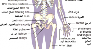 صور عدد عظام جسم الانسان