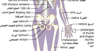 بالصور عدد عظام جسم الانسان Skeleton 01 310x165