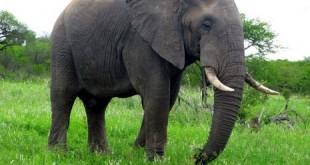 صورة تفسير رؤية الفيل في المنام