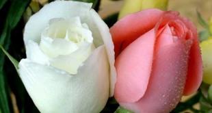بالصور صور اجمل الورود الصباحية hwaml.com 1316089268 335 310x165