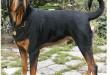 بالصور مجموعة صور كلاب امريكي كلب روت وايلر امريكي 110x75