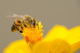 صوره فوائد لسعة النحلة للجسم