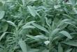 بالصور عشبة القطف لتكيس المبايض نبتة الميرمية1 110x75