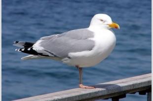 صوره بحث عن طائر النورس