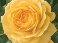 صورة اسماء الزهور الفرنسية