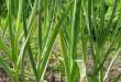 بالصور تعرفوا معنا على نبات الثوم 0e30434e66f007 110x75