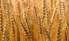صوره تفسير القمح في المنام