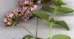 صوره فوائد نبات البردقوش الكثيرة