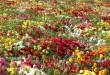 بالصور اجمل انواع الورود في العالم 16546.imgcache 110x75
