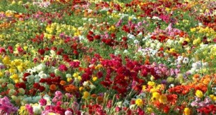 صوره اجمل انواع الورود في العالم