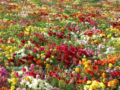 صورة اجمل انواع الورود في العالم